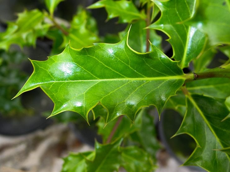 Holly leaves - Image By treegrowing