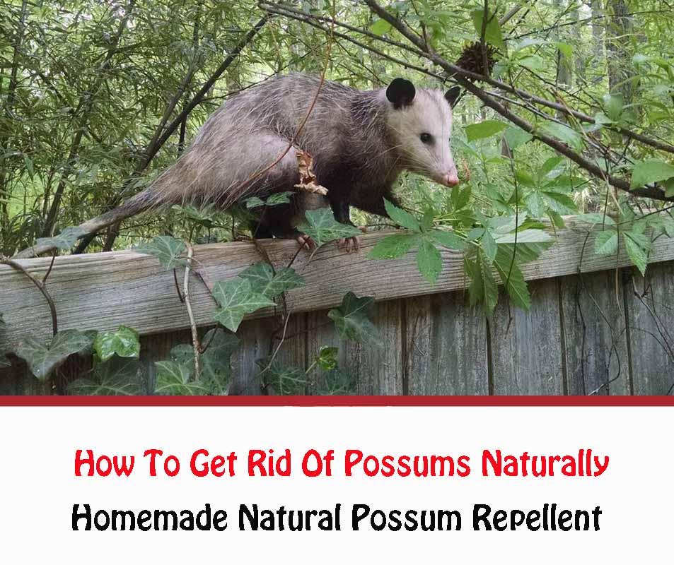 Homemade Natural Possum Repellent