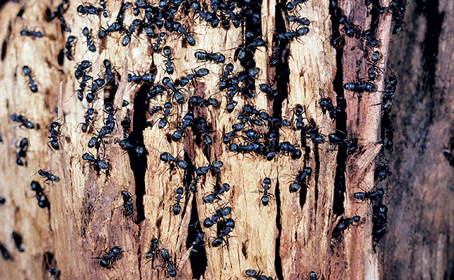 How Do You Know If Ants Live Inside Wood