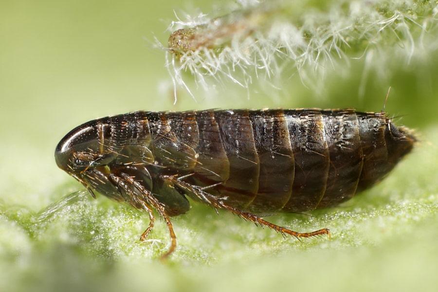 How Does Salt Work To Kill Fleas - Image By bulwarkpestcontrol