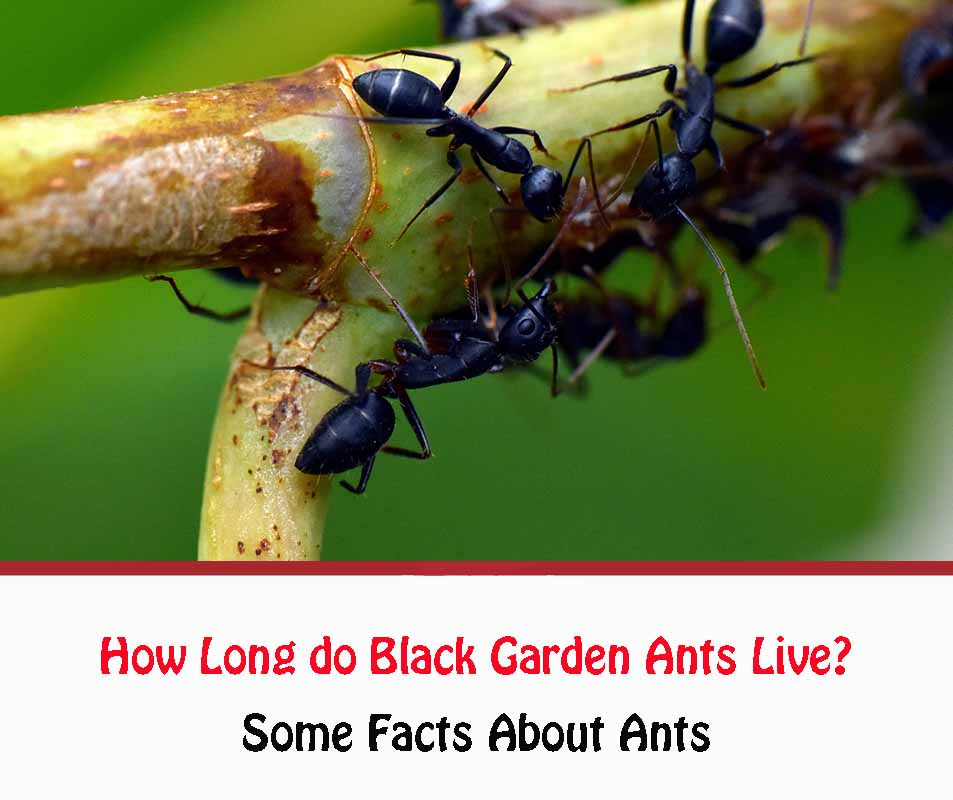 How Long Do Ants Live