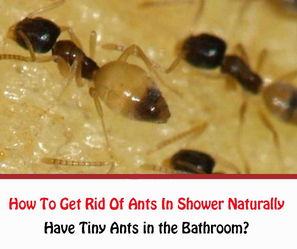 How To Get Rid Of Ants In The Shower Naturally