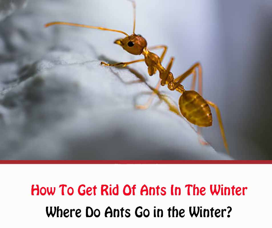 How To Get Rid Of Ants In The Winter