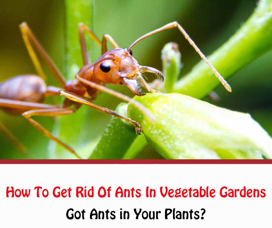 How To Get Rid Of Ants In Vegetable Gardens