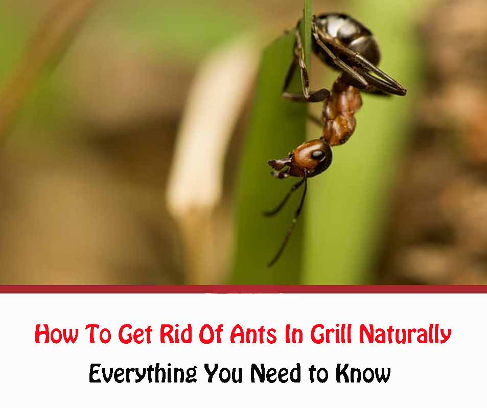 How To Get Rid Of Ants On Your Grill
