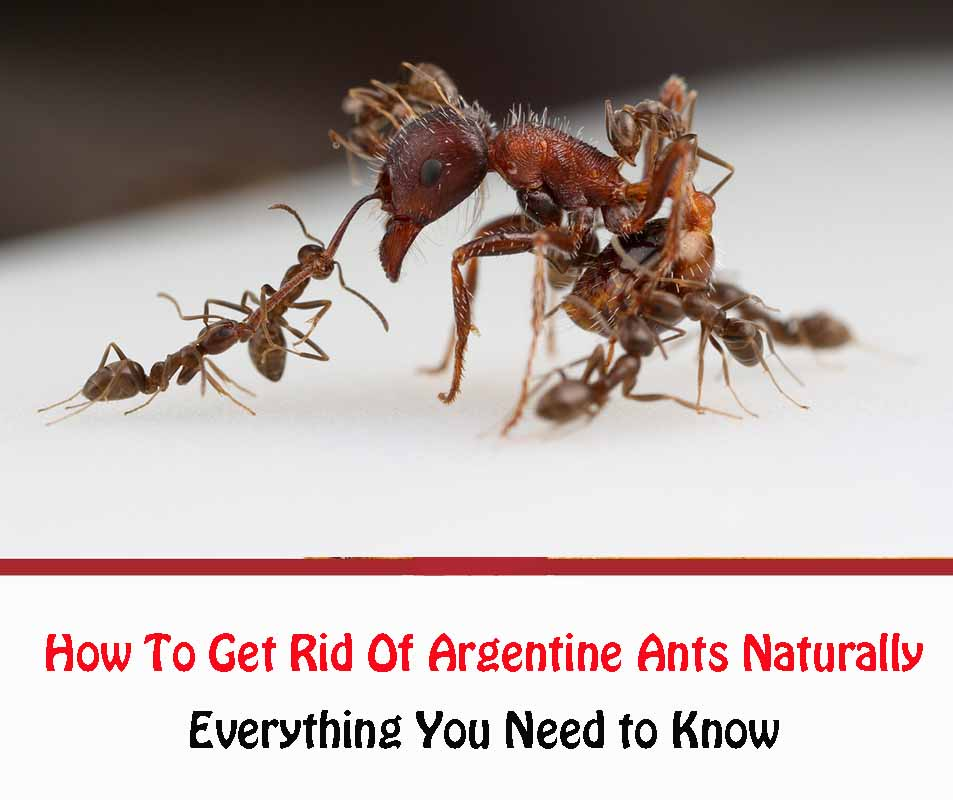 How To Get Rid Of Argentine Ants In Your Home