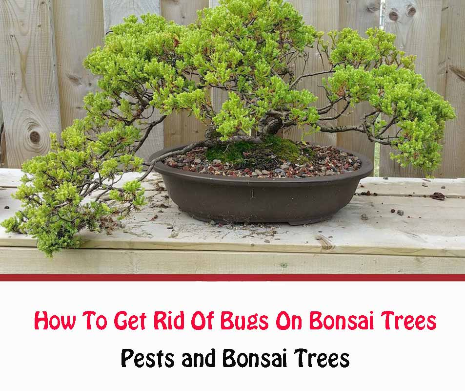 How To Get Rid Of Bugs On Bonsai Trees