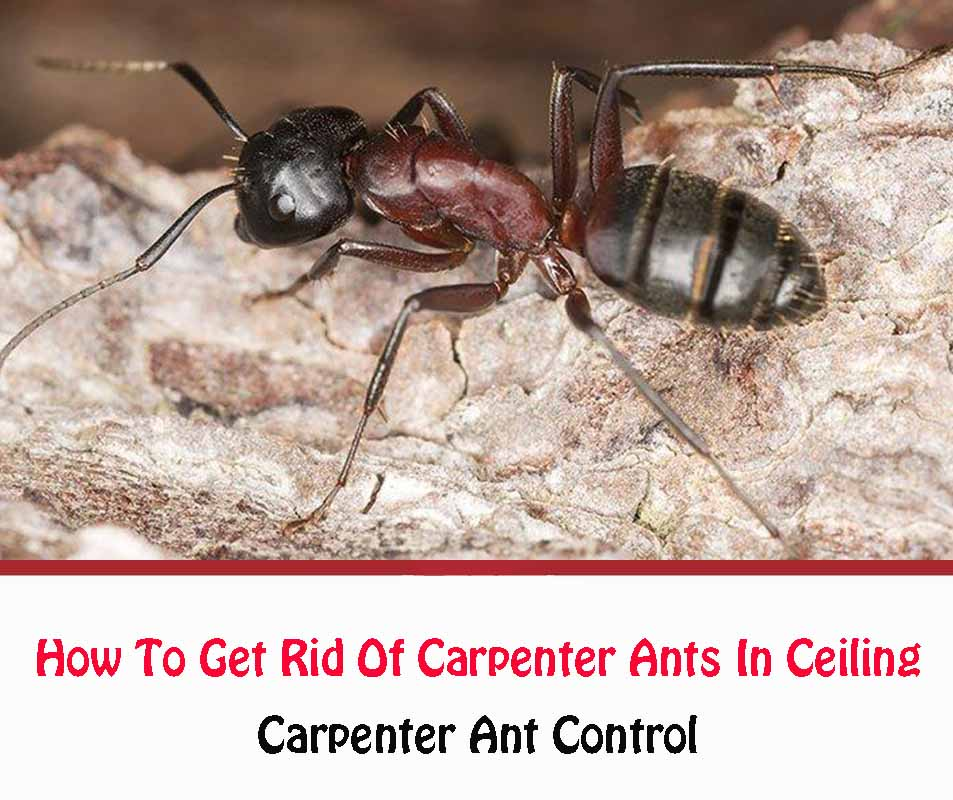 How To Get Rid Of Carpenter Ants In Ceiling