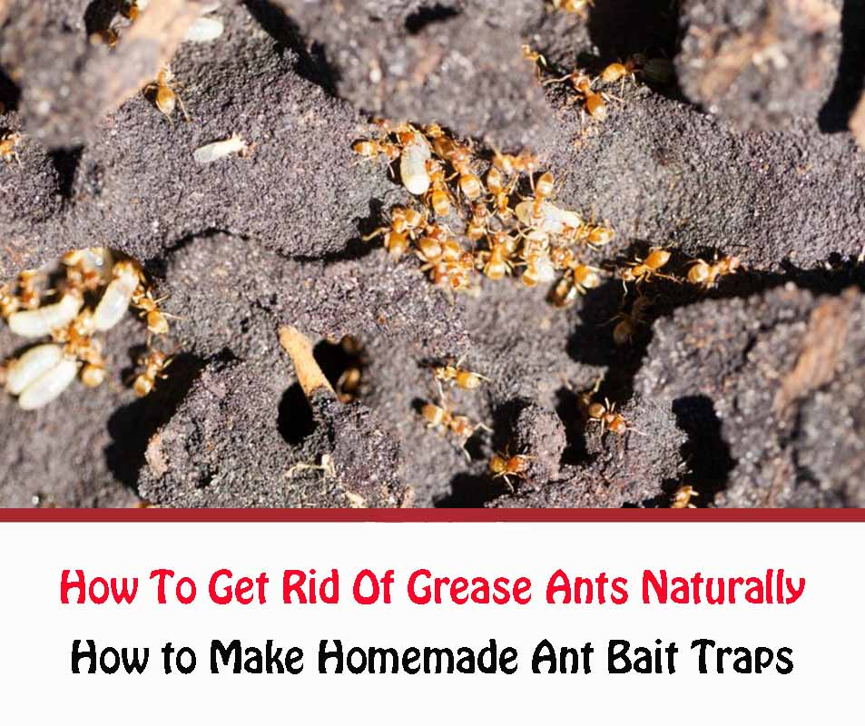 How To Get Rid Of Grease Ants Naturally