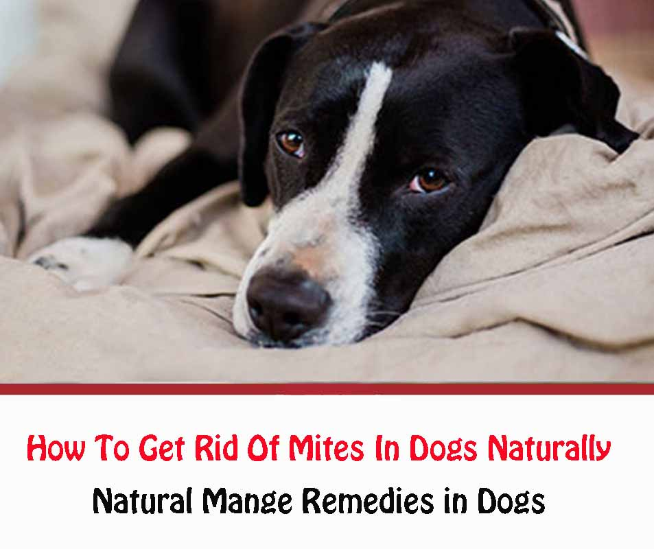 How To Get Rid Of Mites In Dogs Naturally
