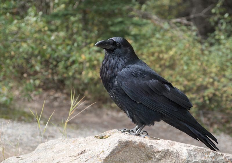 Where do Ravens live?