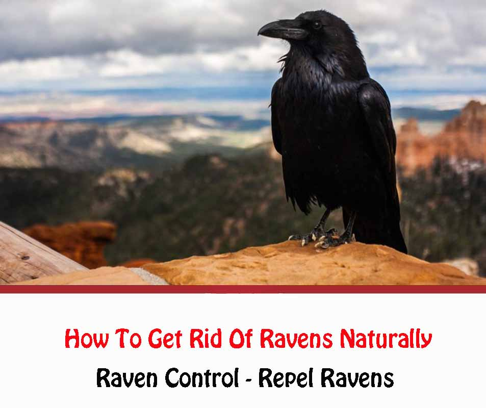 How To Get Rid Of Raven Naturally