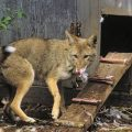 How To Protect Chickens From Coyotes - Image By predatorguard