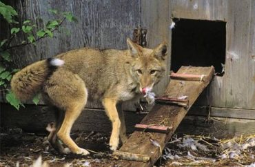 How To Protect Chickens From Coyotes