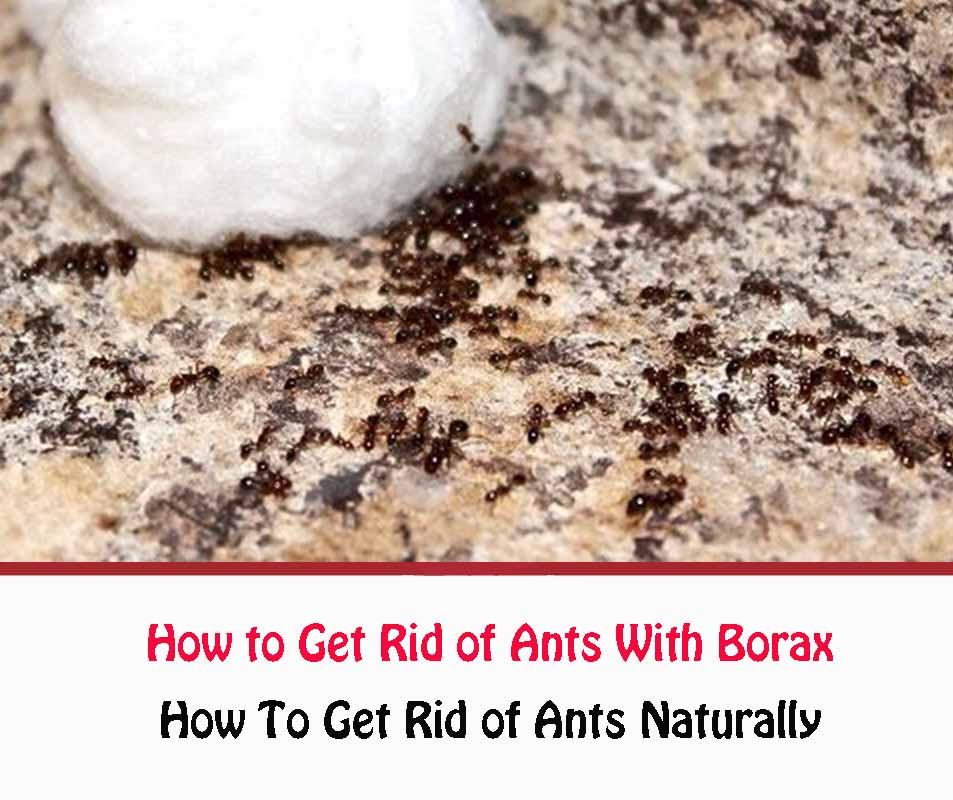 How To Use Borax For Ants