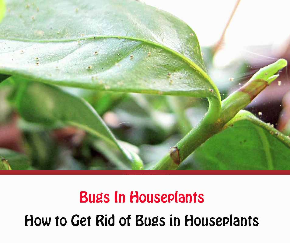 How to Get Rid of Bugs in Houseplants