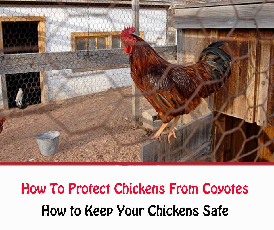 How to Keep Your Chickens Safe