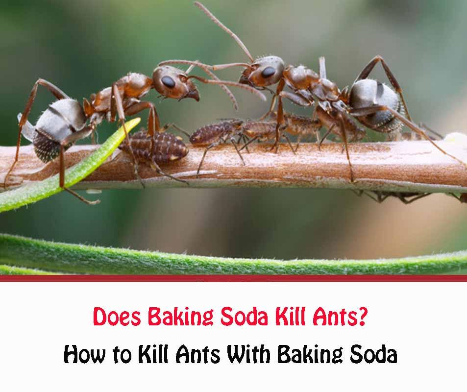 How to Kill Ants With Baking Soda