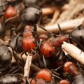 Identification Of Thatch Ants - Image By ibycter