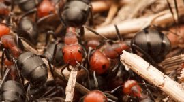 How To Get Rid Of Thatch Ants Naturally