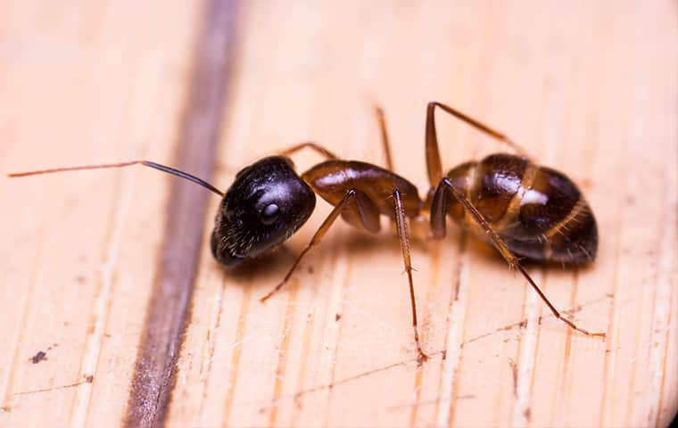 Is It Dangerous that Ants Get Around The Grill - Image By holifieldpest