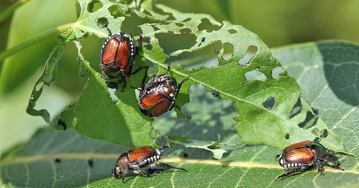 Japanese Beetles On Basil - Image By gardenerspath
