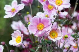 Japanese anemone - Image By gardenia
