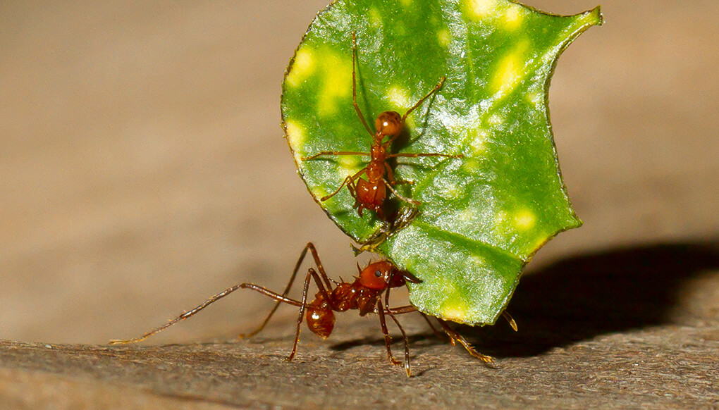 Leaf Cutter Ants - Image By sandiegozoo