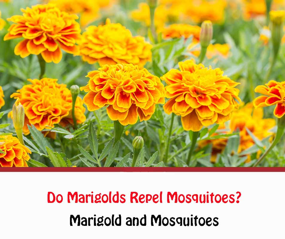 Marigold and Mosquitoes