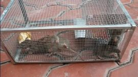 What is Best Bait for Mouse Cage Traps?