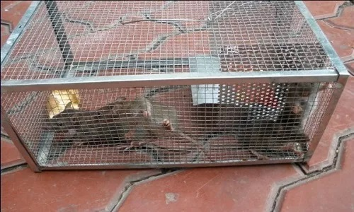 Mouse Cage Traps 2021