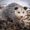 Possums - Image By presspubs