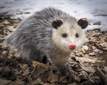 How To Get Rid Of Possums Naturally