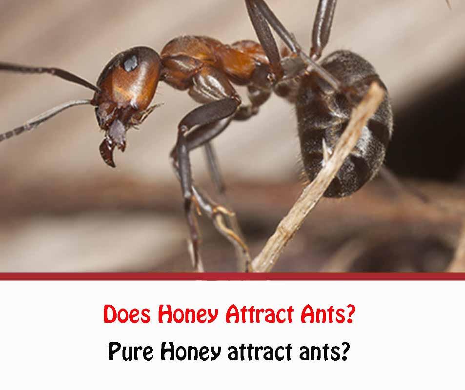 Pure Honey attract ants