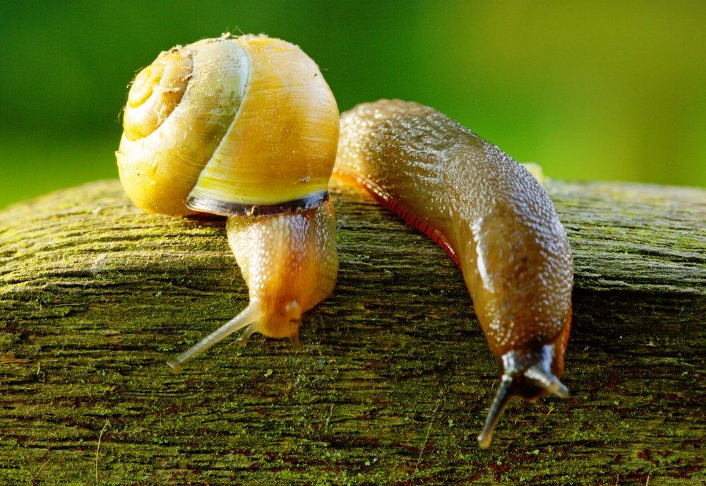 Slugs and Snails - Image By Pestwiki