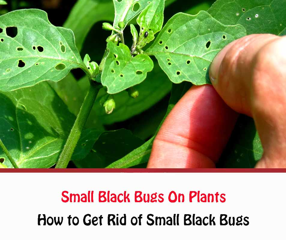Small Black Bugs On Plants Naturally