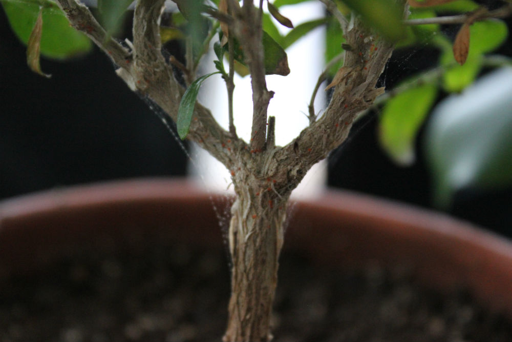 Spider Mites On Your Bonsai Tree
