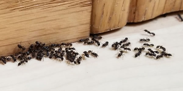 Sugar Ants Vs. Grease Ants - Image By bogopestcontrol