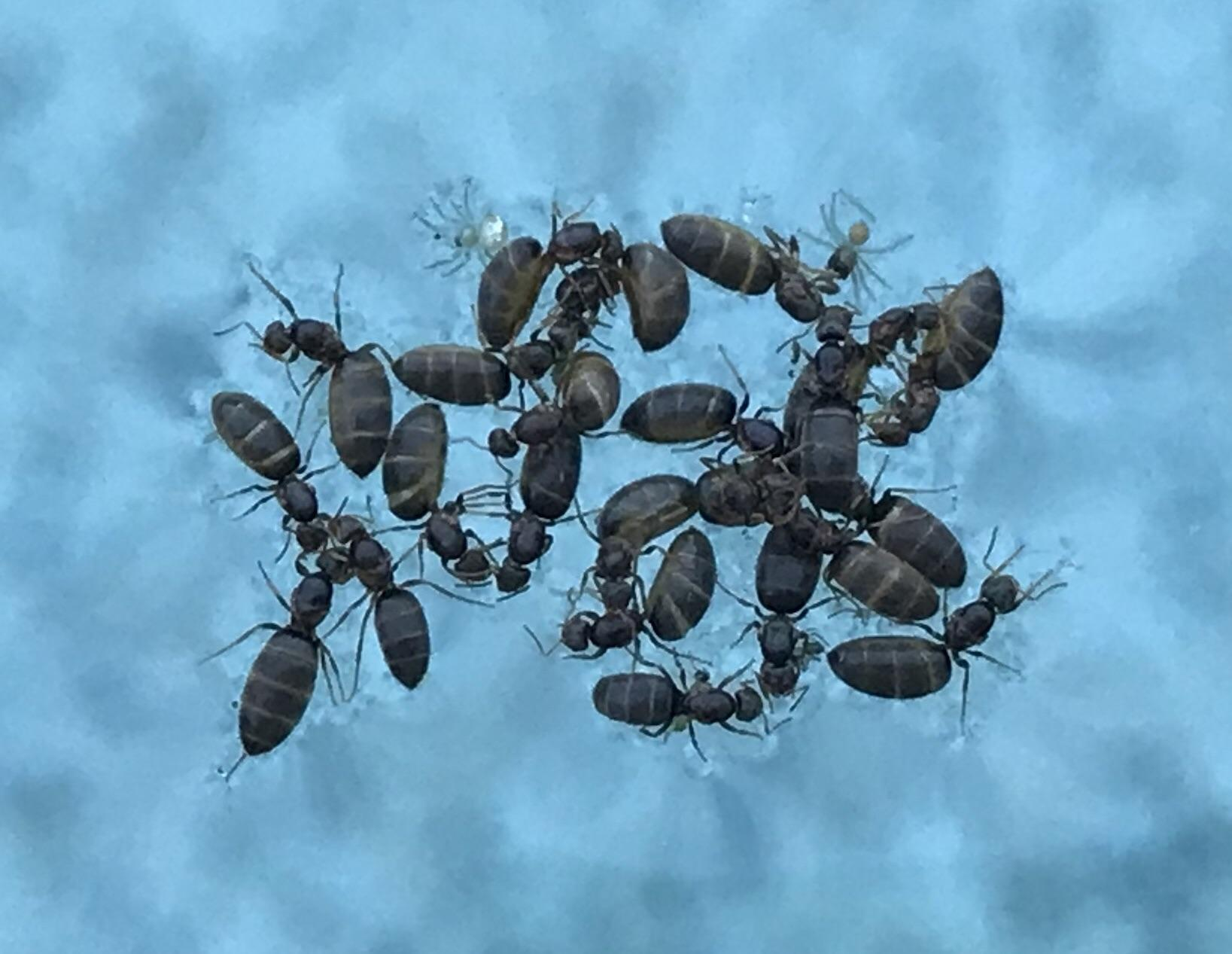 Types of flying ants in the pool