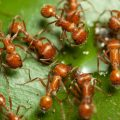What Are Fire Ants - Image By reynoldspest