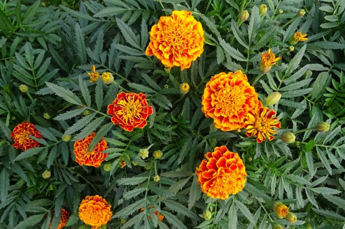 What Do the Marigolds Look Like? - Image By almanac