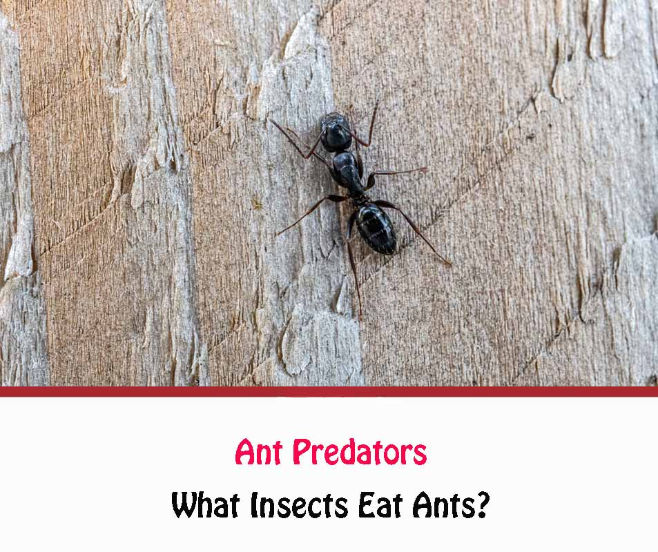 What Insects Eat Ants