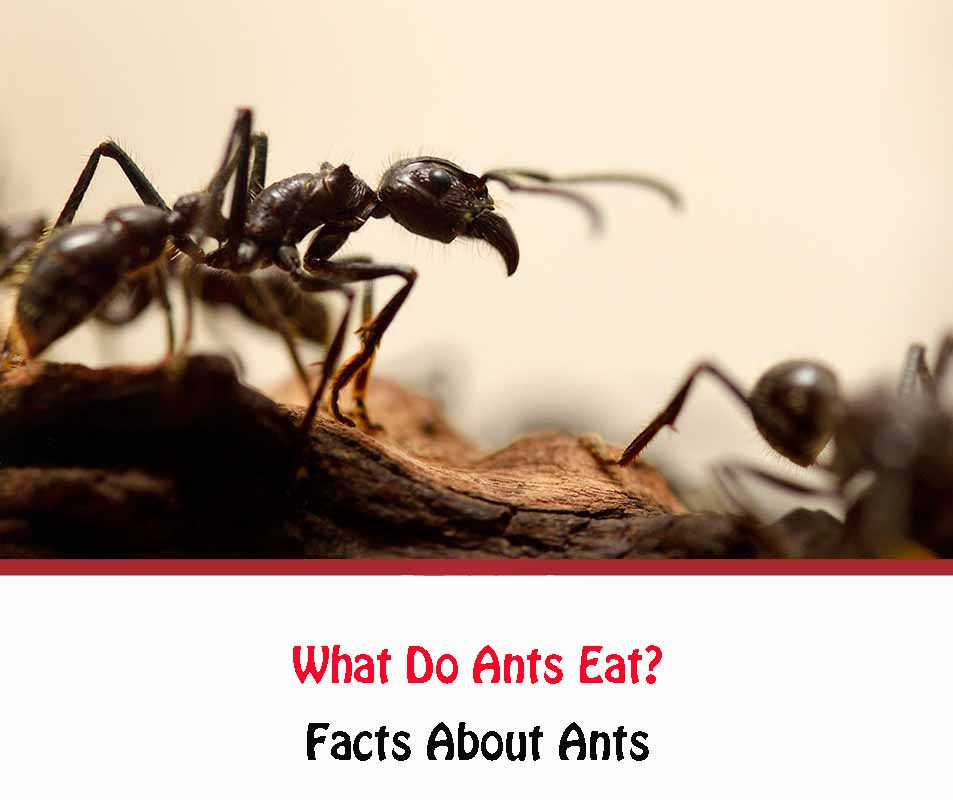 What do ants eat 2021