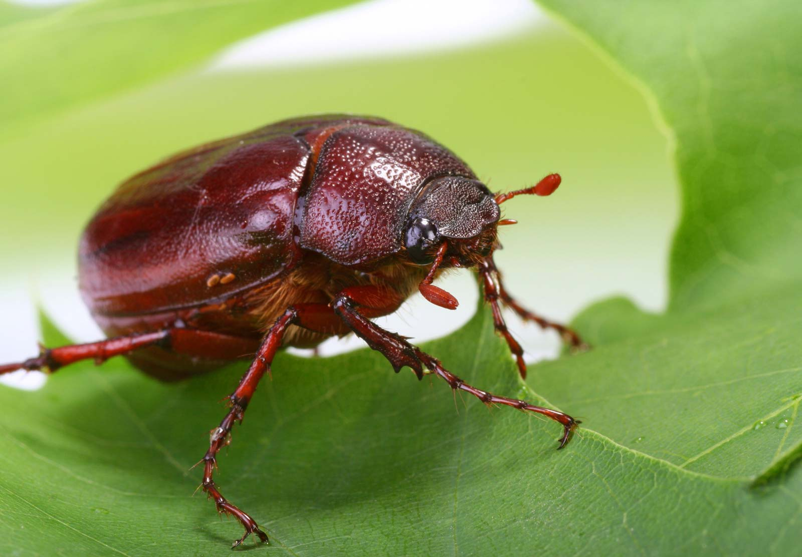 When Do June Bugs Go Away 2021 - Image By britannica