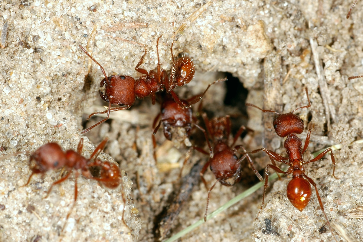 Where do you find harvester ants in your house - Image Byentomology unl