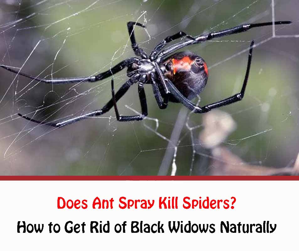 Will Ant Spray Kill Spiders?