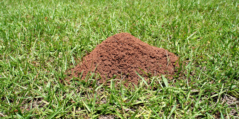 ant hills 2021 - Image By lawn-tech