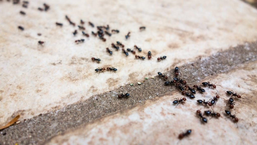 ants with borax 2021 - Image By pestsamurai