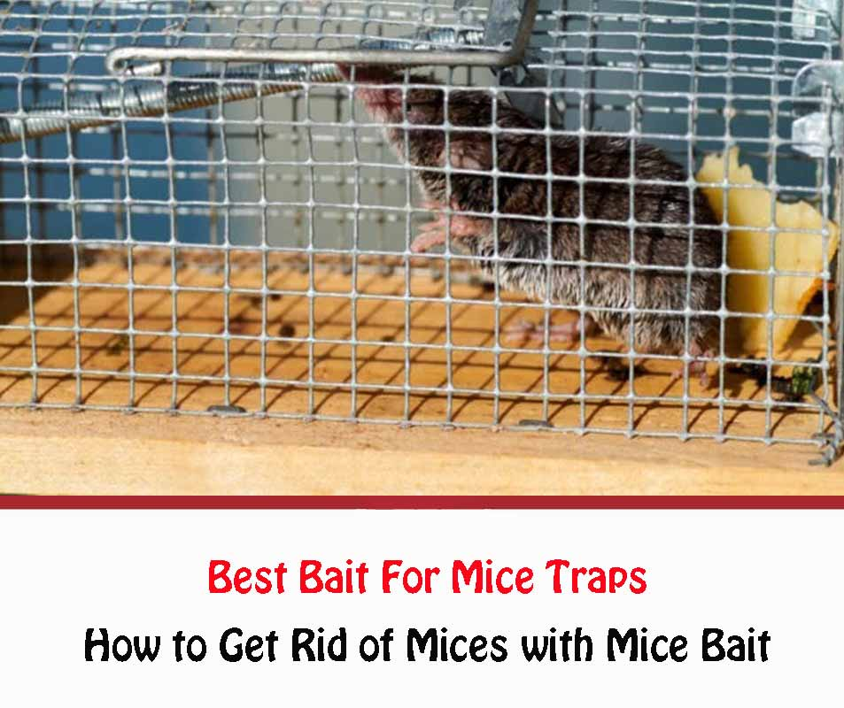 best bait for rat traps