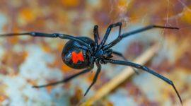 Does Ant Spray Kill Black Widow Spiders?